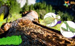 Ağaç Böceği (Kurdu) Nasıl Yok Edilir?