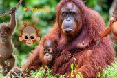 Orangutan Hakkında Bilgi; Nedir? Nerede Yaşar? Ne Yer?