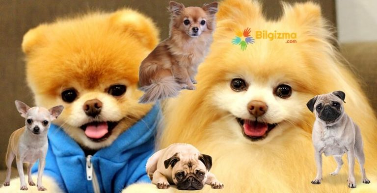 Büyümeyen Cins Köpekler İsimleri ve Özellikleri
